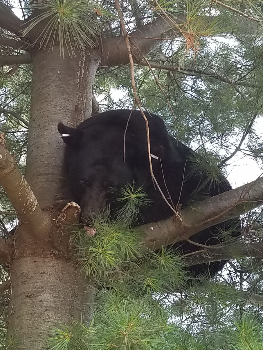 550 pound black bear largest ever recorded in lancaster county