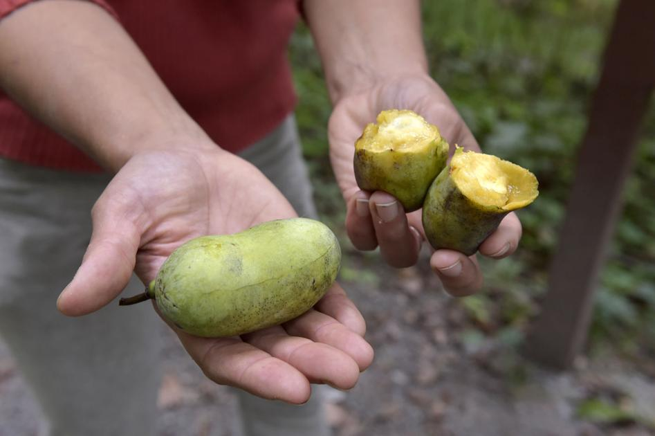 Pawpaws are wait on in Lancaster County: What they're, where to search out them and what to develop with them - LancasterOnline thumbnail