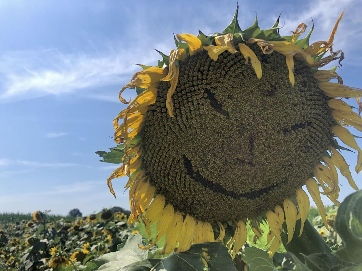 Sunflowers at the Country Barn