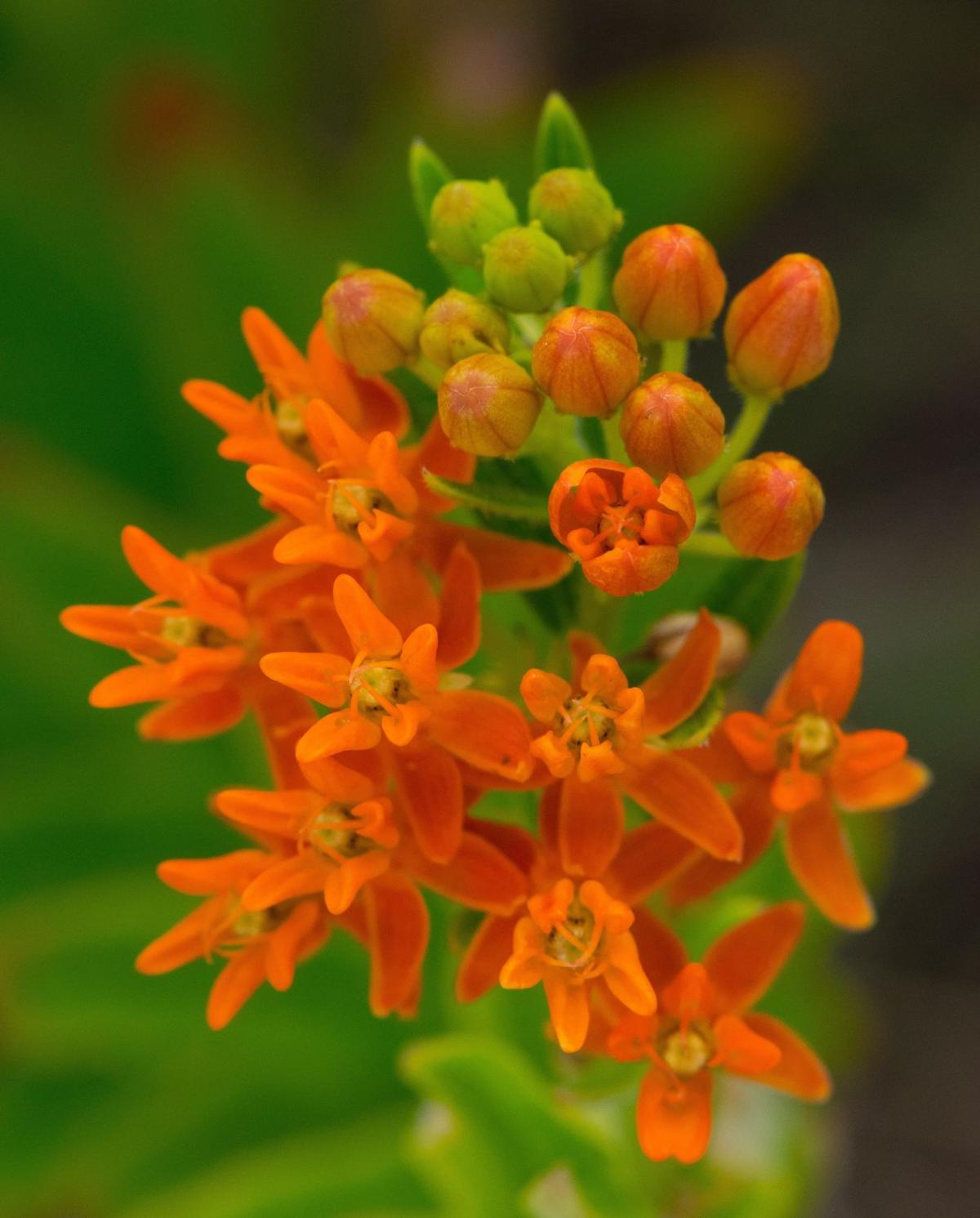 Butterfly Milkweed ( Asclepias tuberosa )