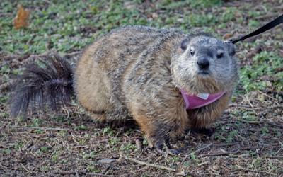 Poppy Groundhog