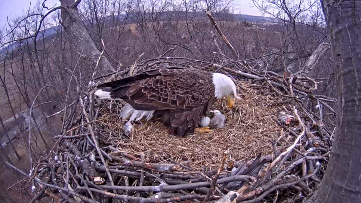 Eaglet newest