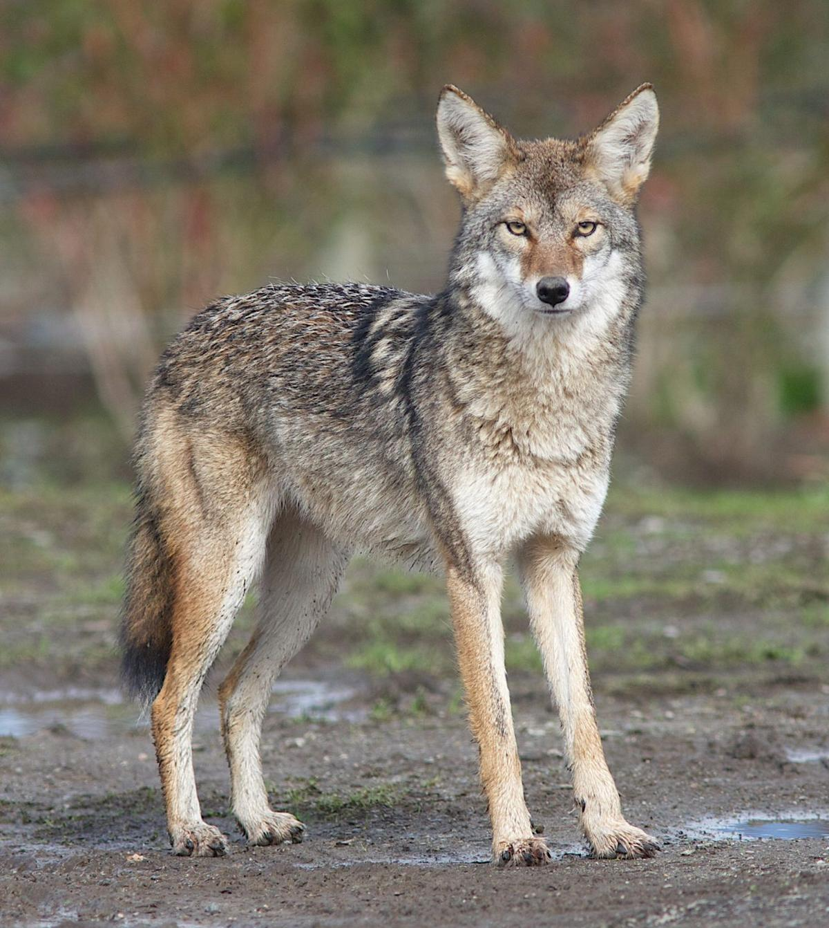 Franklin And Marshall Football >> Enough with elephants, donkeys: Let's consider the wily coyote | Columnists | lancasteronline.com