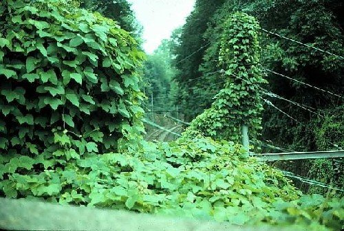 kudzu unfurling its fastgrowing vines into lancaster county, Natural flower