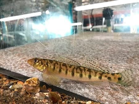 Logperch in Knoxville 2