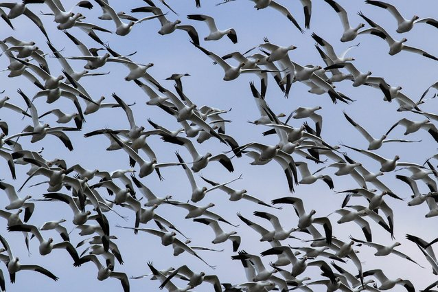 Flock Of Geese In Flight  Letters