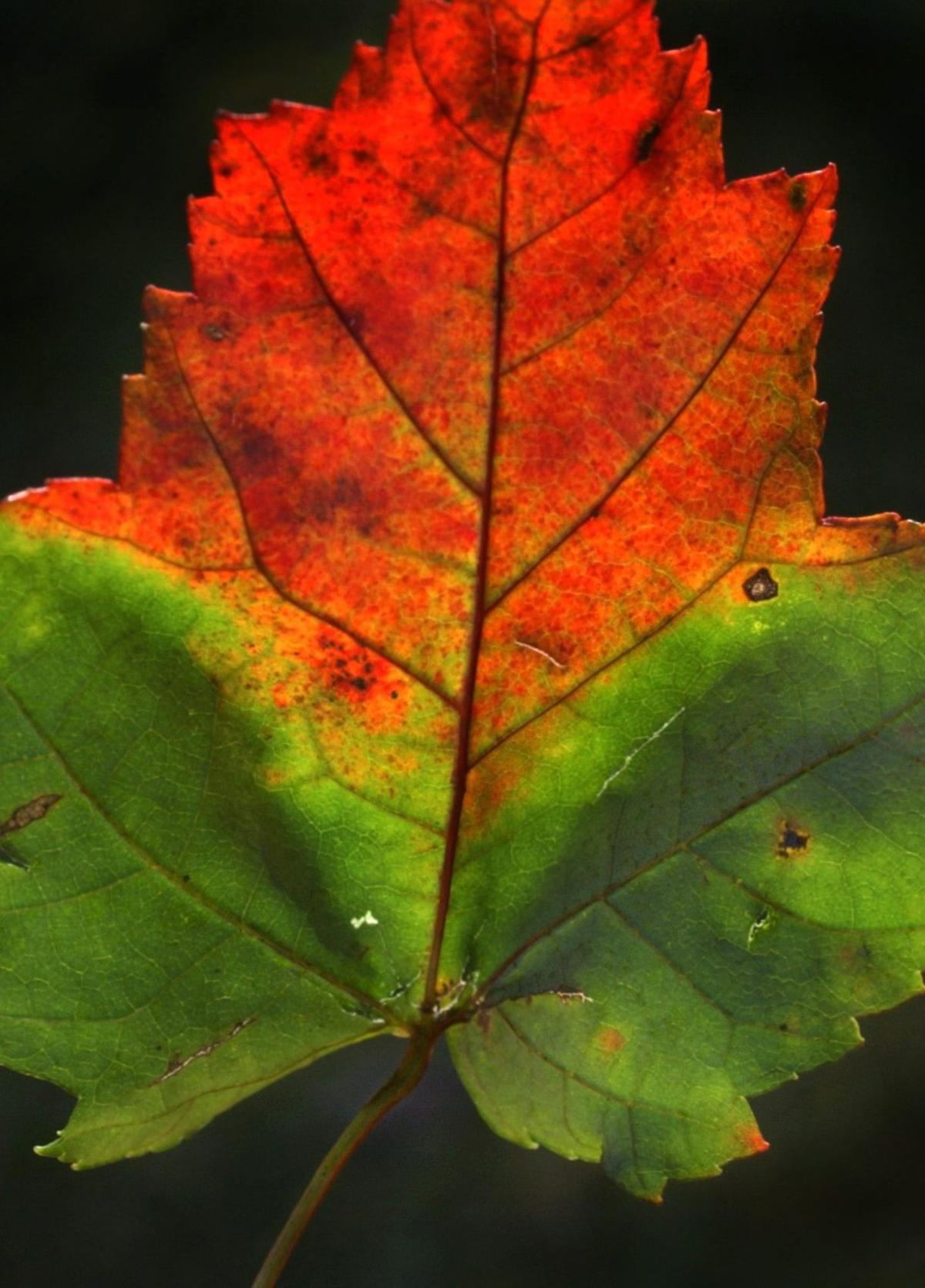 Lancaster County fall foliage should weather drought well, unlike ...