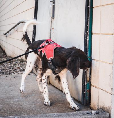 Lanternfly dog