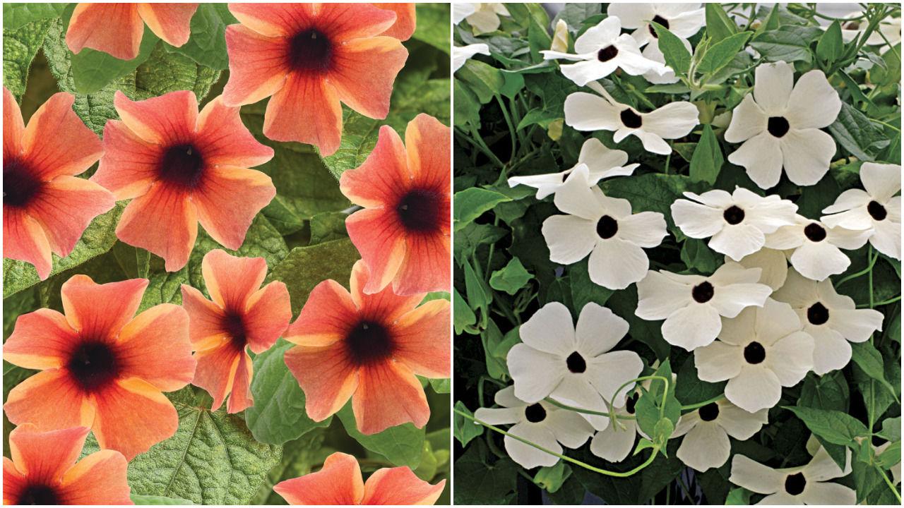 Planting petunias for seedlings in 2019 10