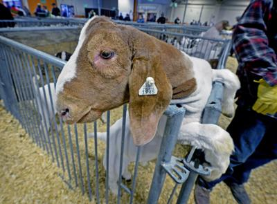 Viewfinder Boer goat