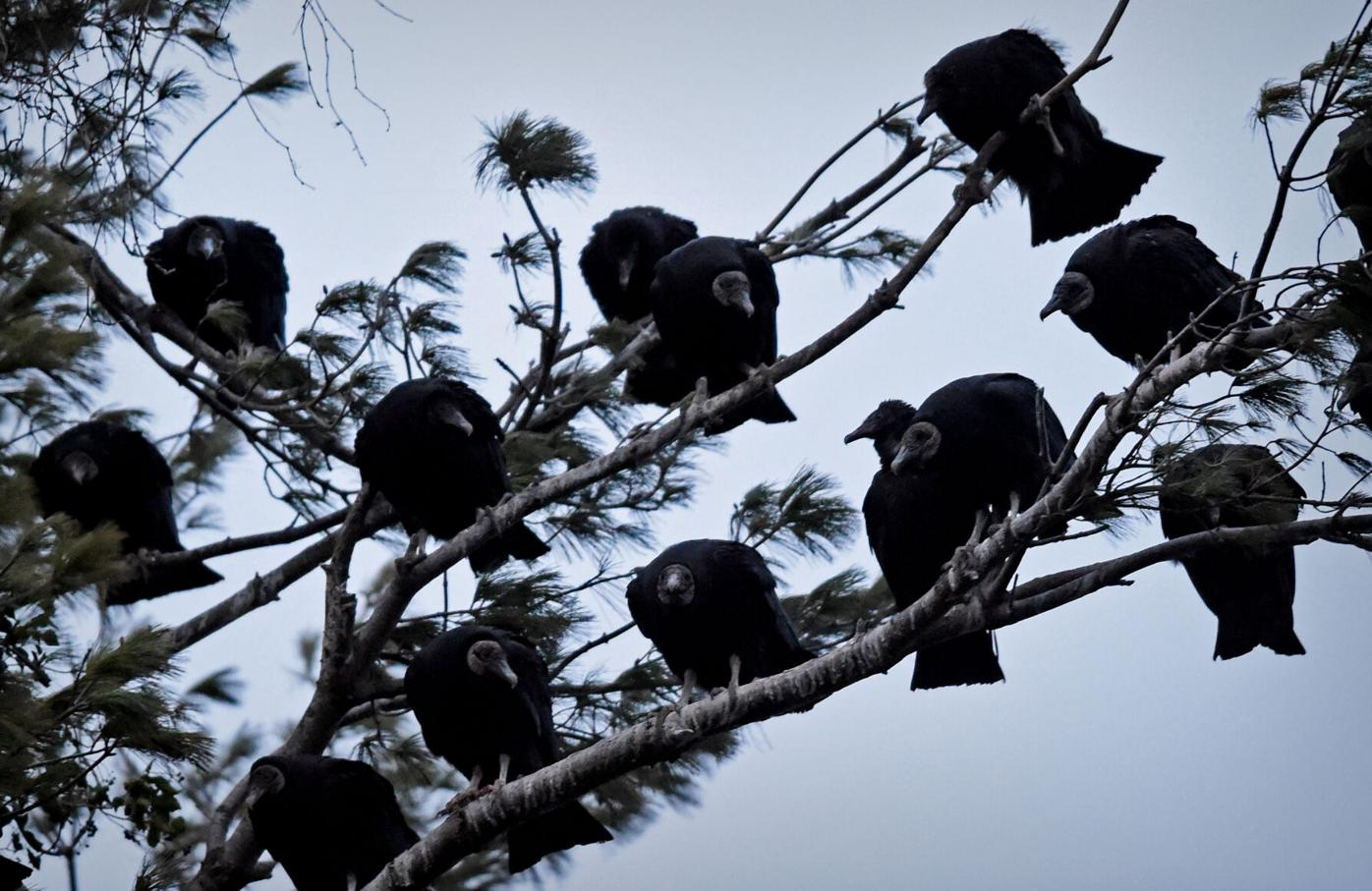 Marietta vultures