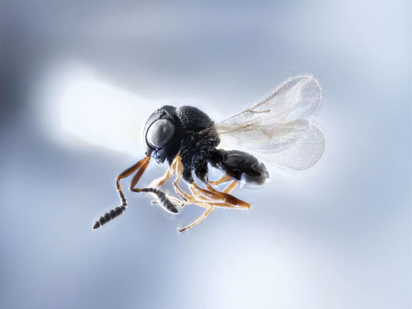 stink bug samurai wasp