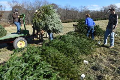 Millers Christmas Tree Farm.Ravenous Spotted Lanternflies Could Hitch A Ride Into Your