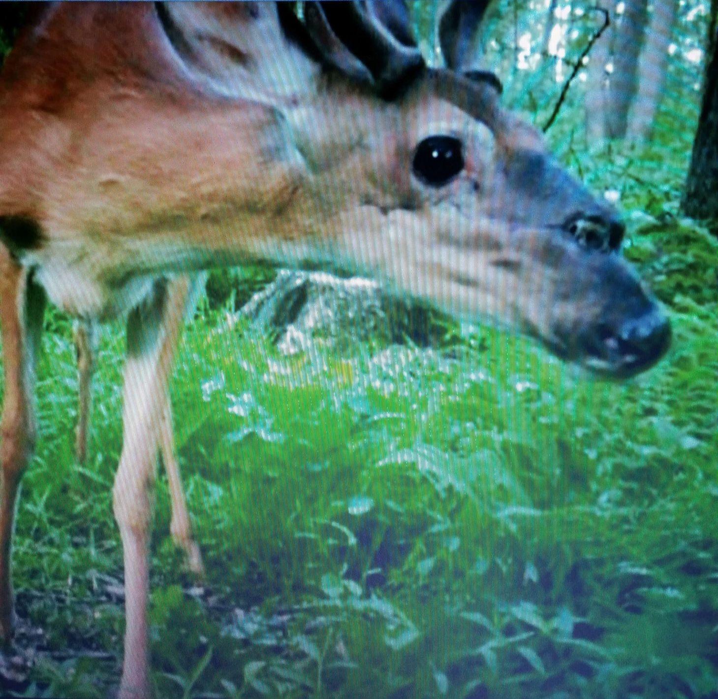 Deer webcam
