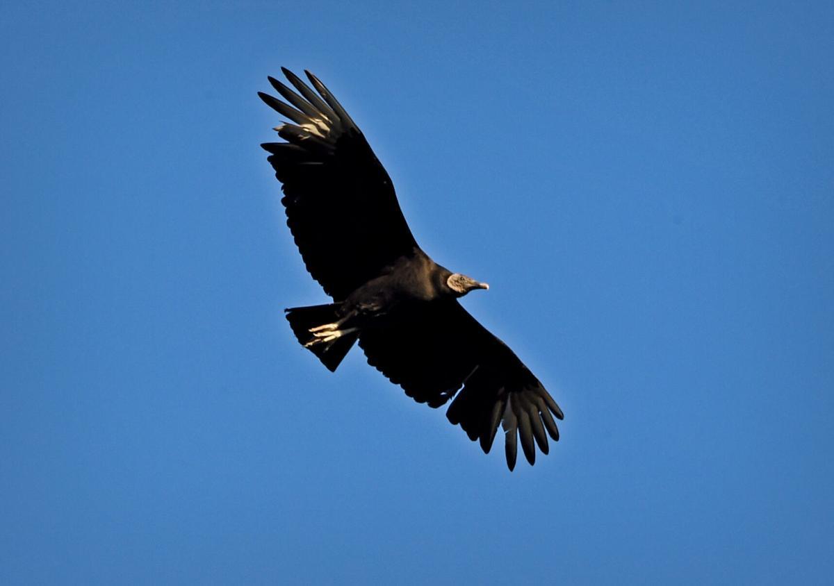 Marietta Black vultures