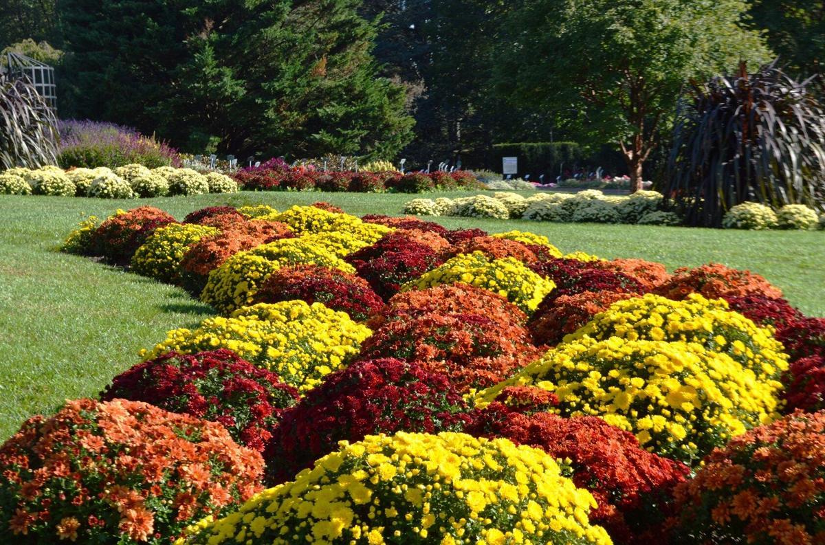 Hershey Gardens mums 2020
