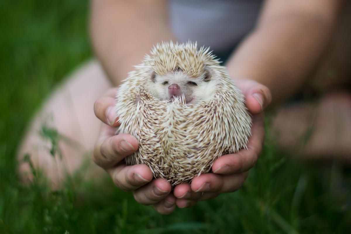 d24c0e6b4005 Pennsylvania lawmakers reject bill legalizing hedgehogs, sugar gliders as  pets   Local News   lancasteronline.com