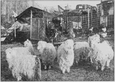 goats 1995