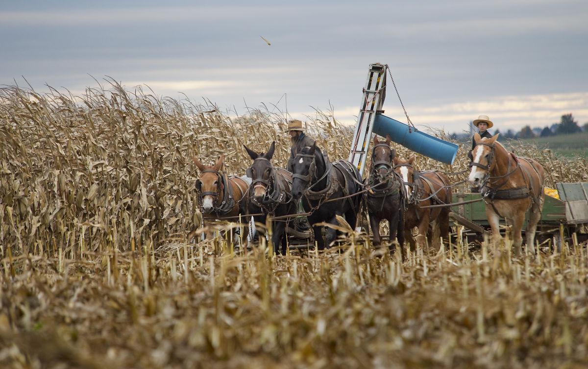 Amish Corn 1.jpg