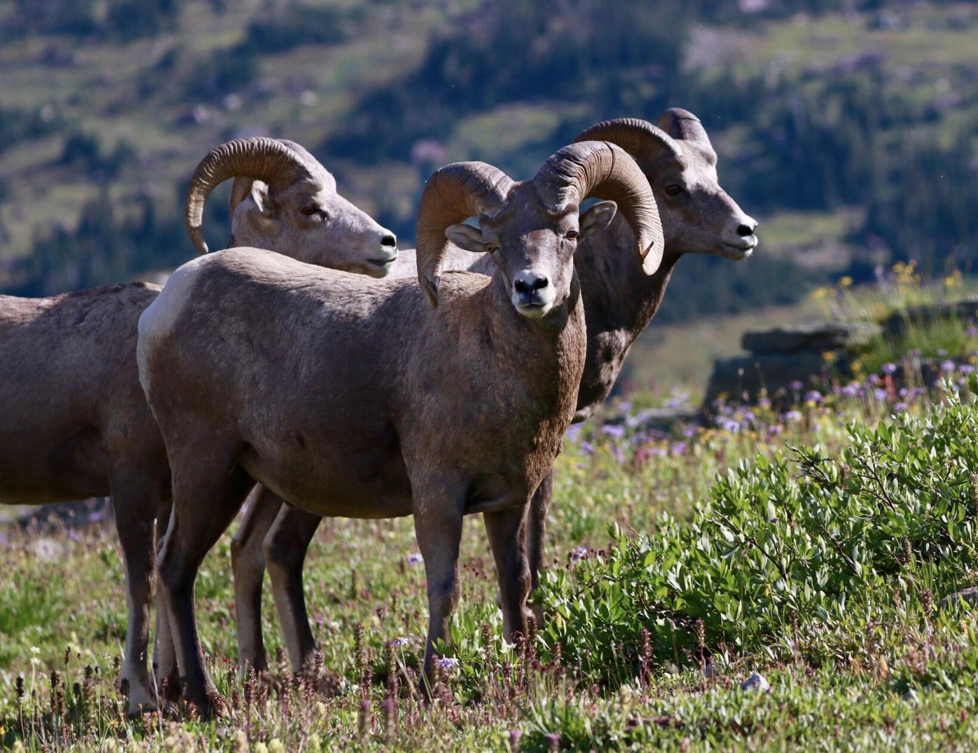 Bighorn sheep at Hidden Lake