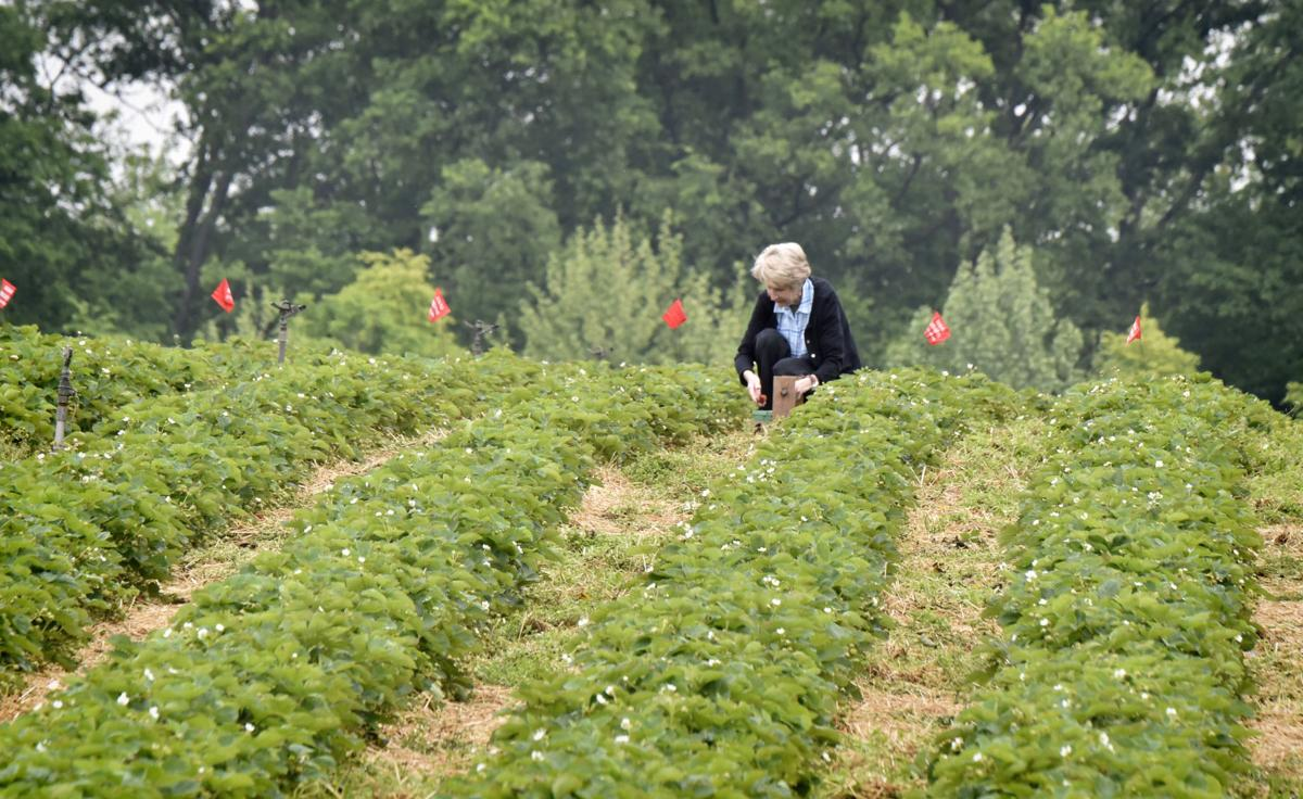 Where And When To Pick Strawberries In Lancaster County Plus Can I Get Coronavirus From Food Food Living Lancasteronline Com
