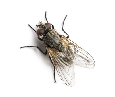 Housefly image