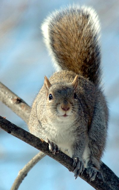 Tracking the predators of gray squirrels