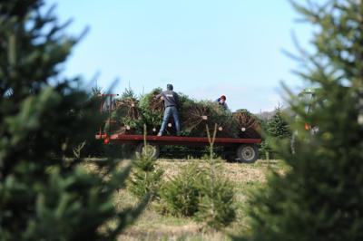 christmas_tree_farm_004jpg - When To Put Up Christmas Tree