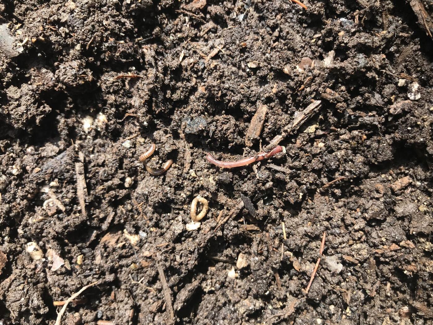 HG master gardener Jumping worm hatchlings_Knauss S15 2.jpg