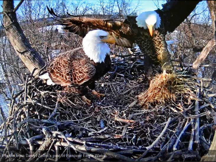 How big is the stick home of Eagle Cam eagles Liberty and Freedom ...