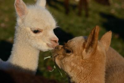 n7 lets begin alpaca open house.jpg