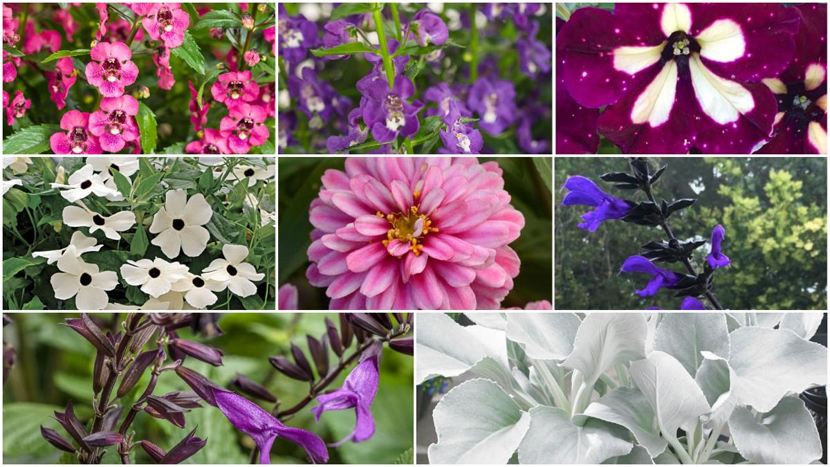 9 favorite new annual plants and flowers for 2018 home garden favorite new plants annuals izmirmasajfo