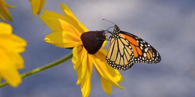 The monarch butterfly AND BLACK EYED SUSAN