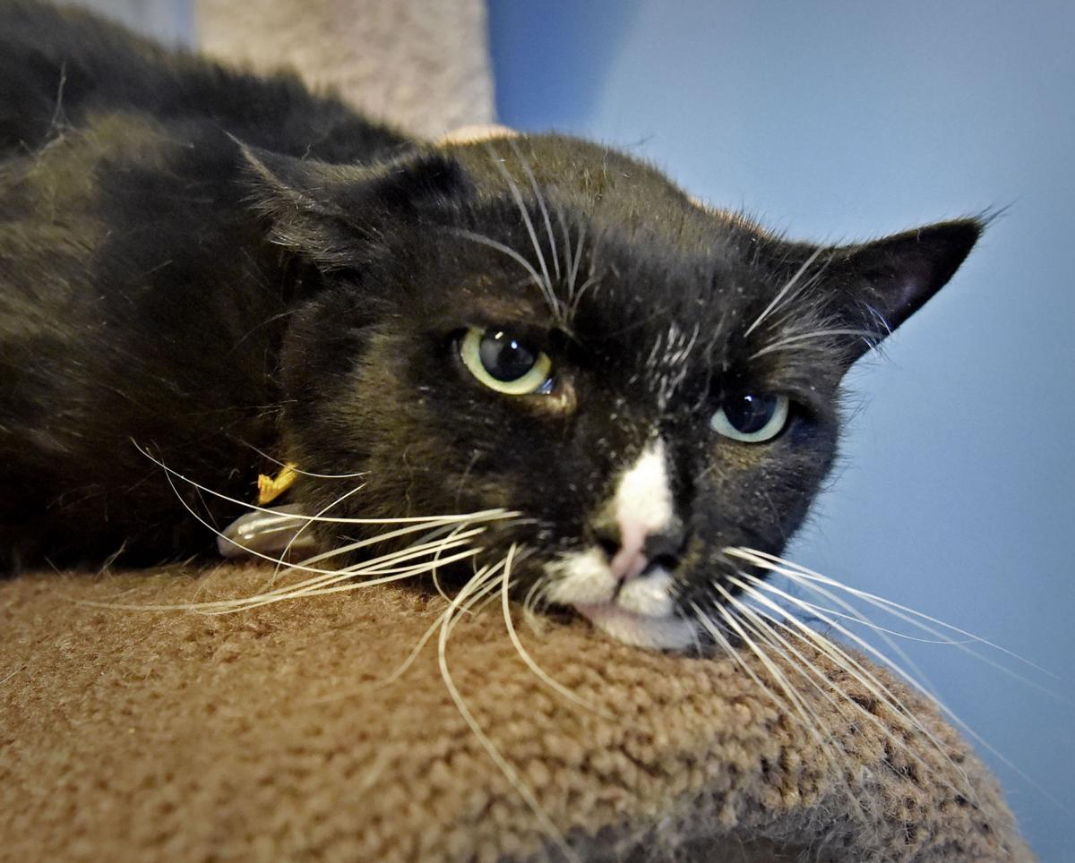 Pet Of The Week Adopt Rocko A 4 Year Old Domestic Shorthair Cat Local News Lancasteronline Com