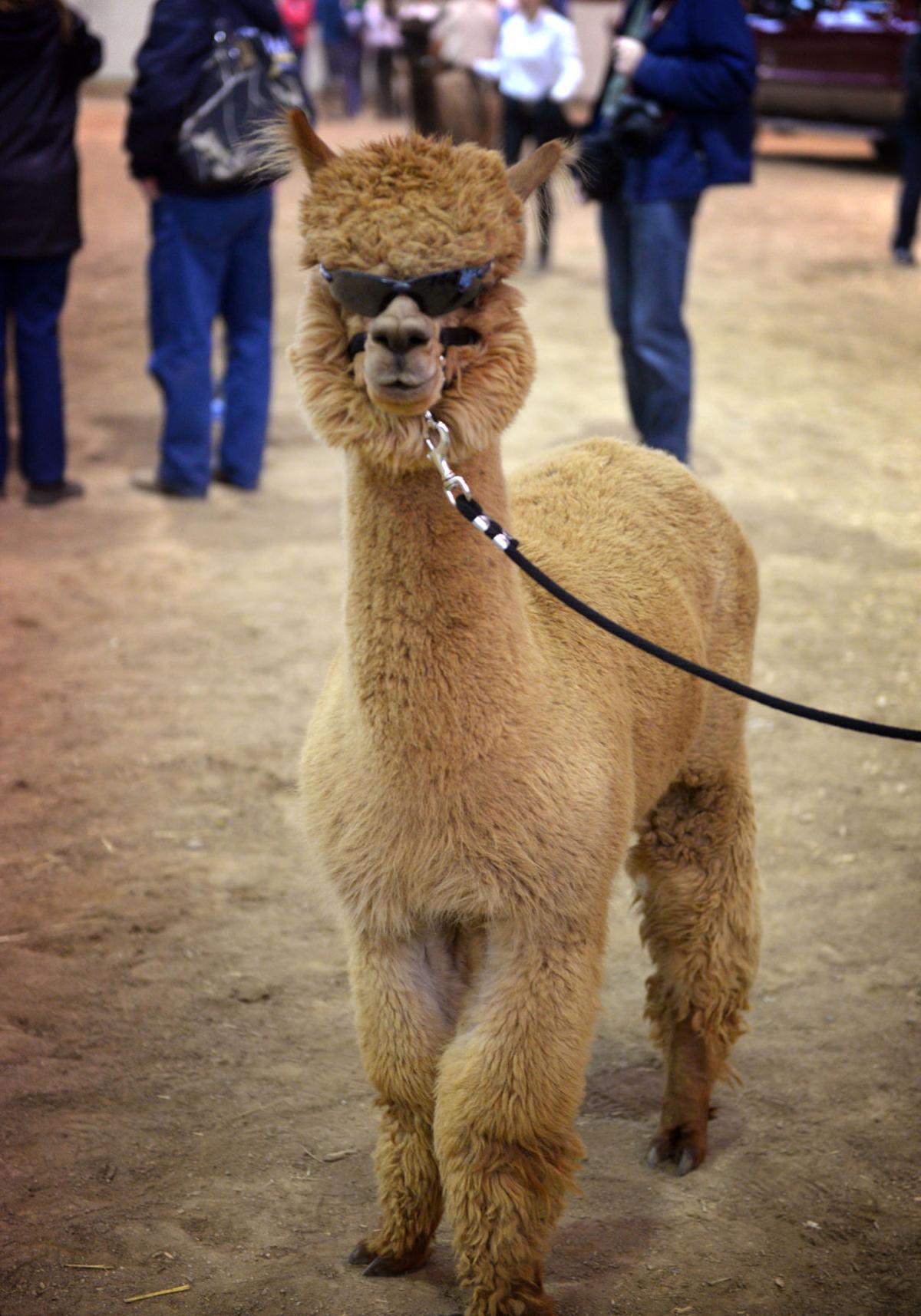 Pa Gun Shows >> Alpacas finally get their day to shine at Farm Show ...