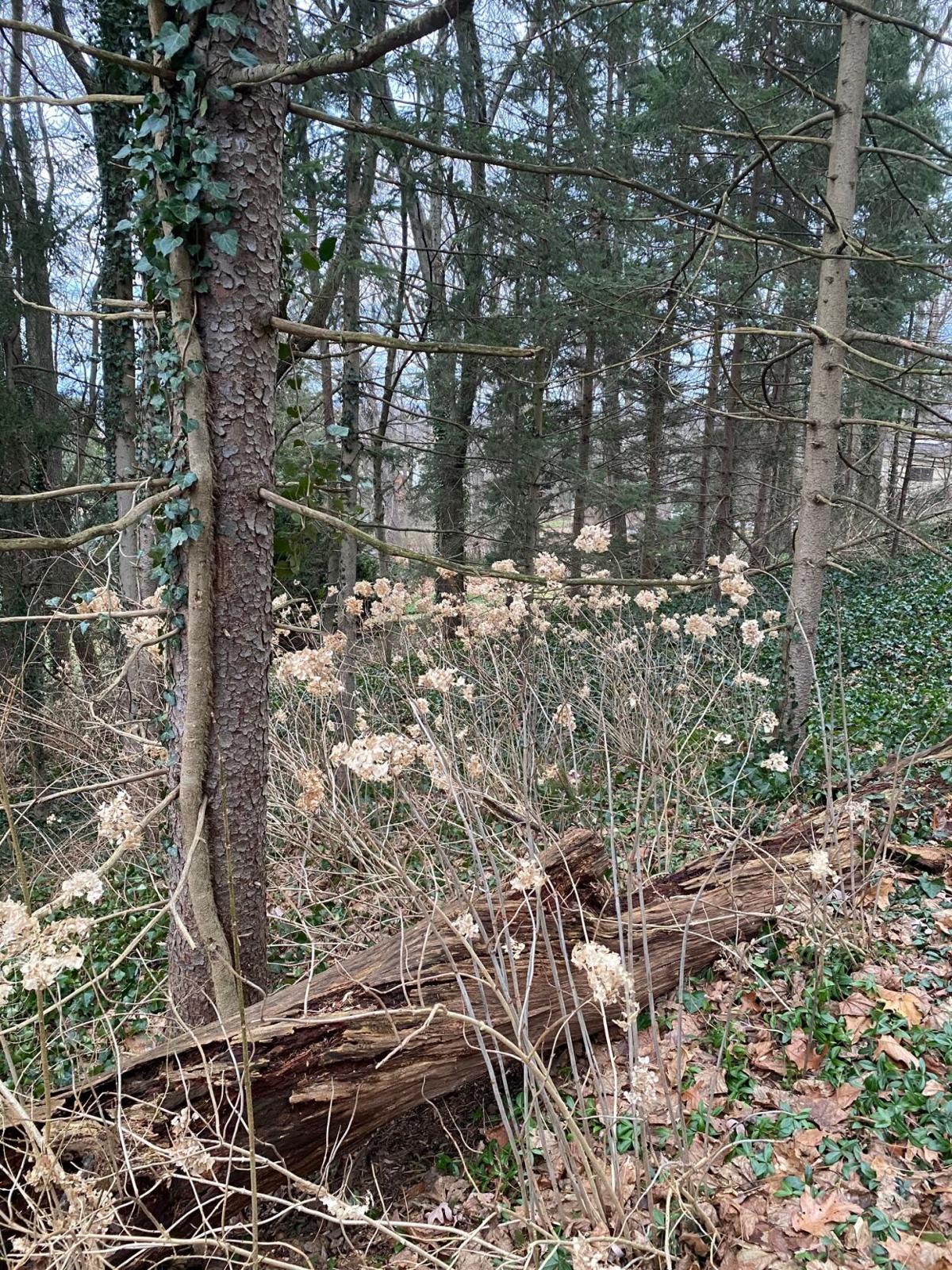 English ivy thick vine.jpg