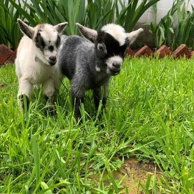 Baby goats from Amish farm