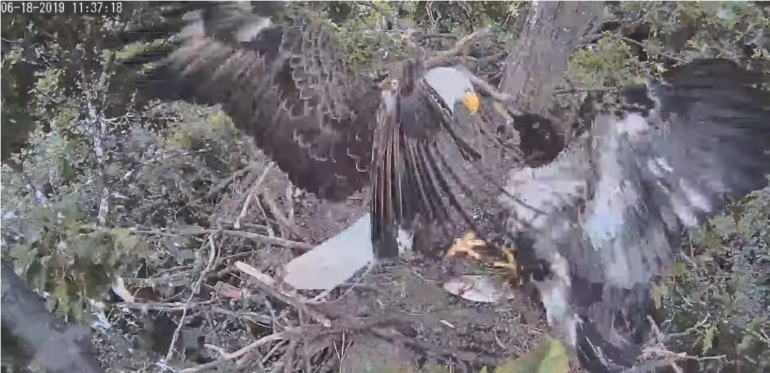 Stars falls from nest [hanover eagle]