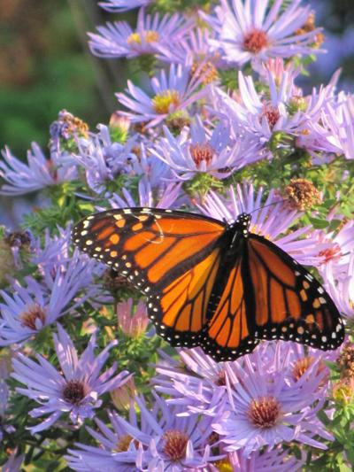 blooming perennial and butterfly
