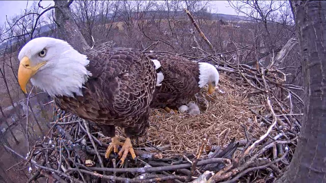 Eaglet and parents