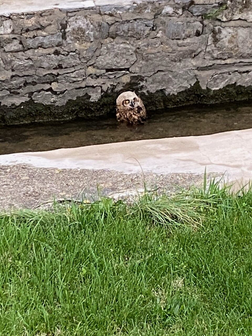 Raven Ridge owl