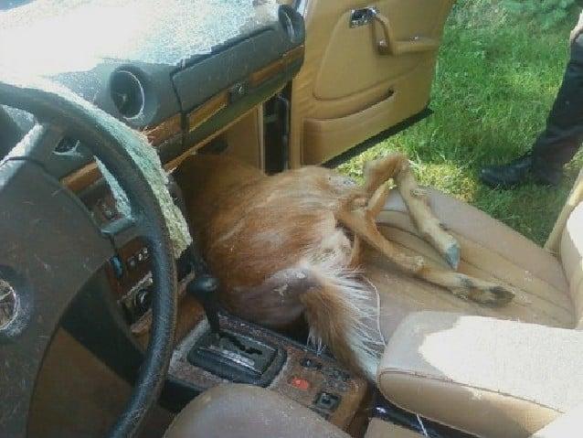 Deer Crashes Through Car Window Dies In Vehicle News