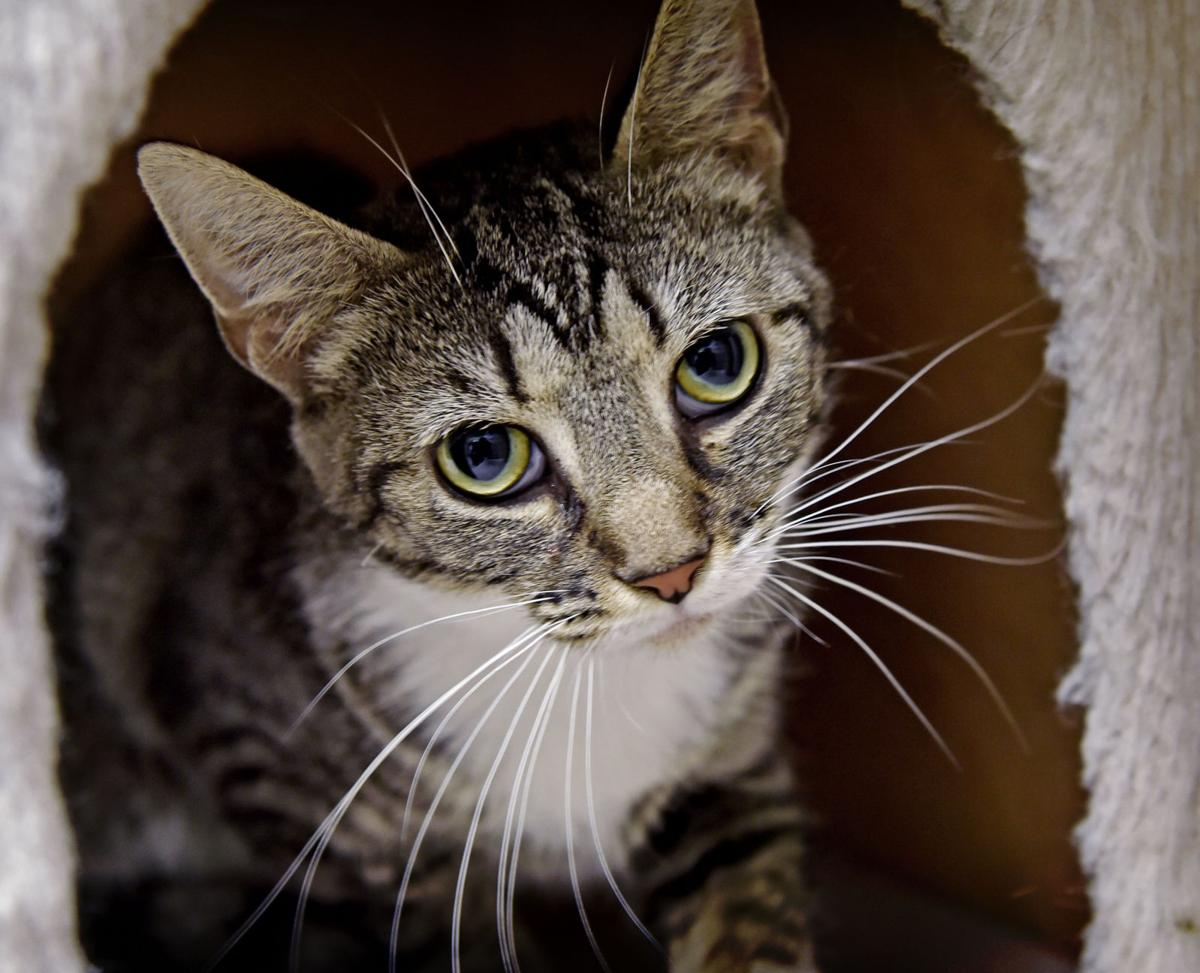 Pet of the week adopt gwendolyn a 1 year old cat local for That fish place that pet place lancaster pa