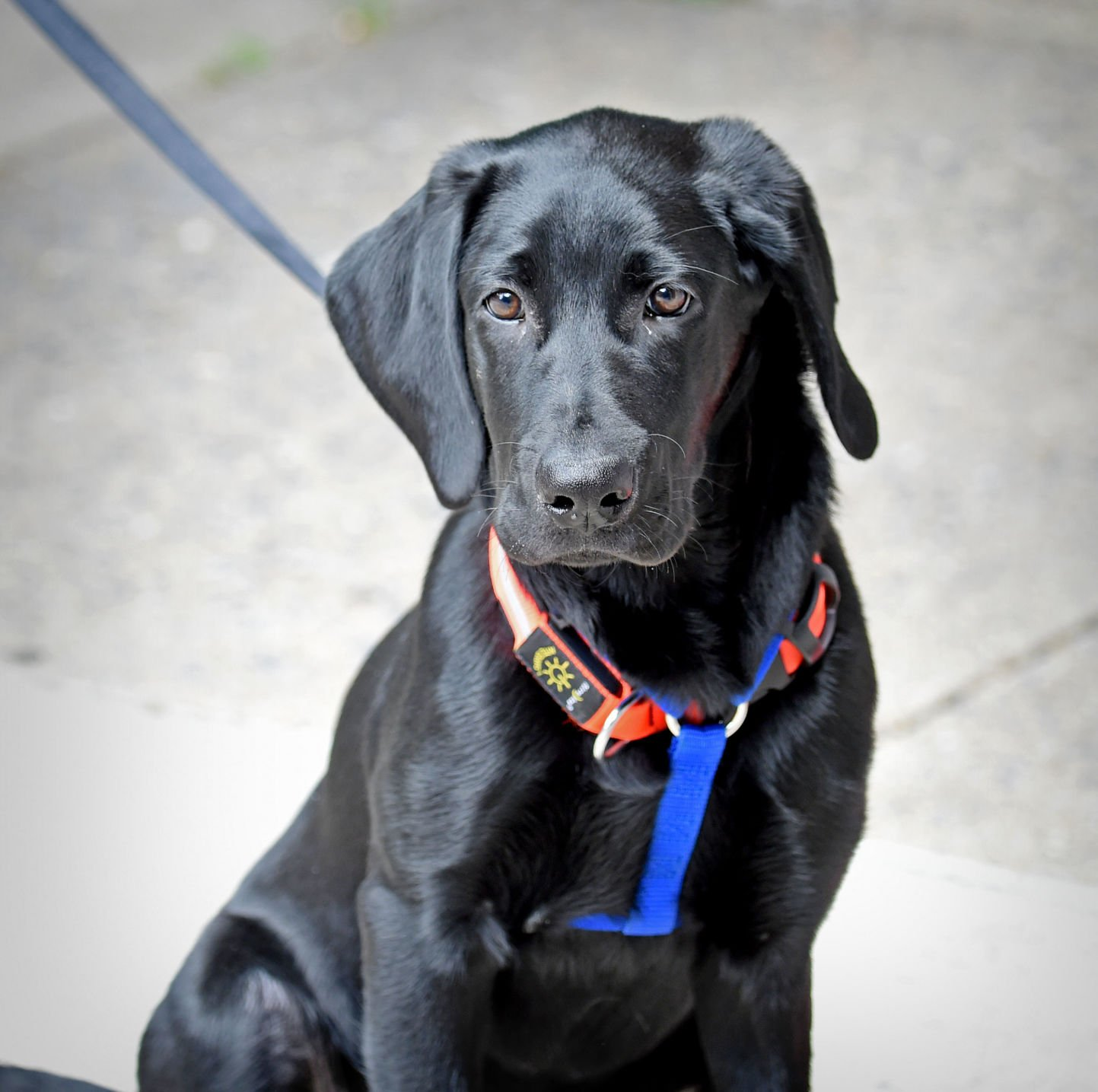 Pet Of The Week Adopt Midnight A 5 Month Old Female Black Lab Local News Lancasteronline Com