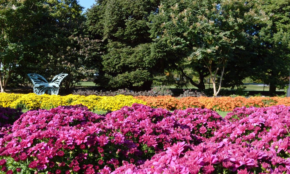 Mums at Hershey Gardens (2).JPG