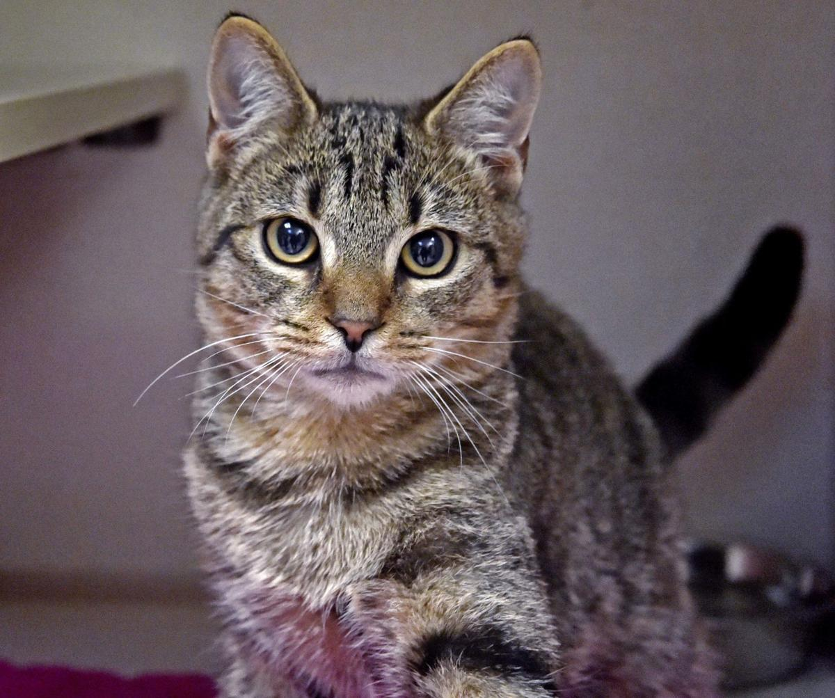 Pet Of The Week Adopt Cranberry A 4 Month Old Domestic Shorthair Kitten Local News Lancasteronline Com
