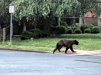 Bear sighting at State and New