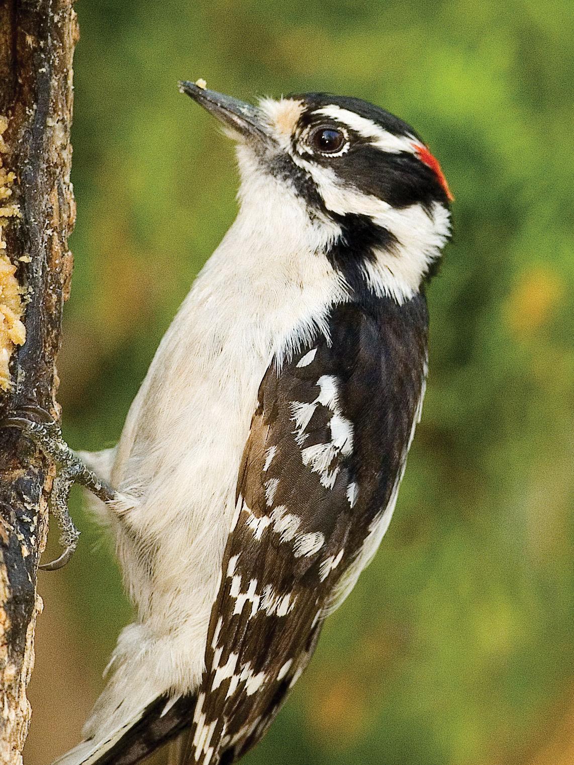 m19 backyard fun downy woodpecker.jpg