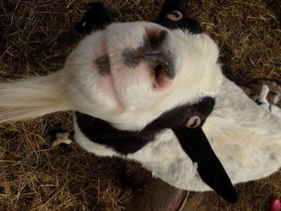 Goat adult