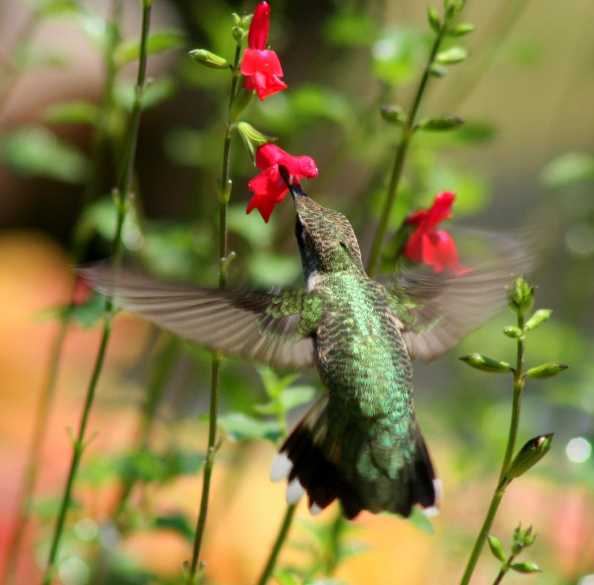 this lancaster twp woman built a garden for hummingbirds and
